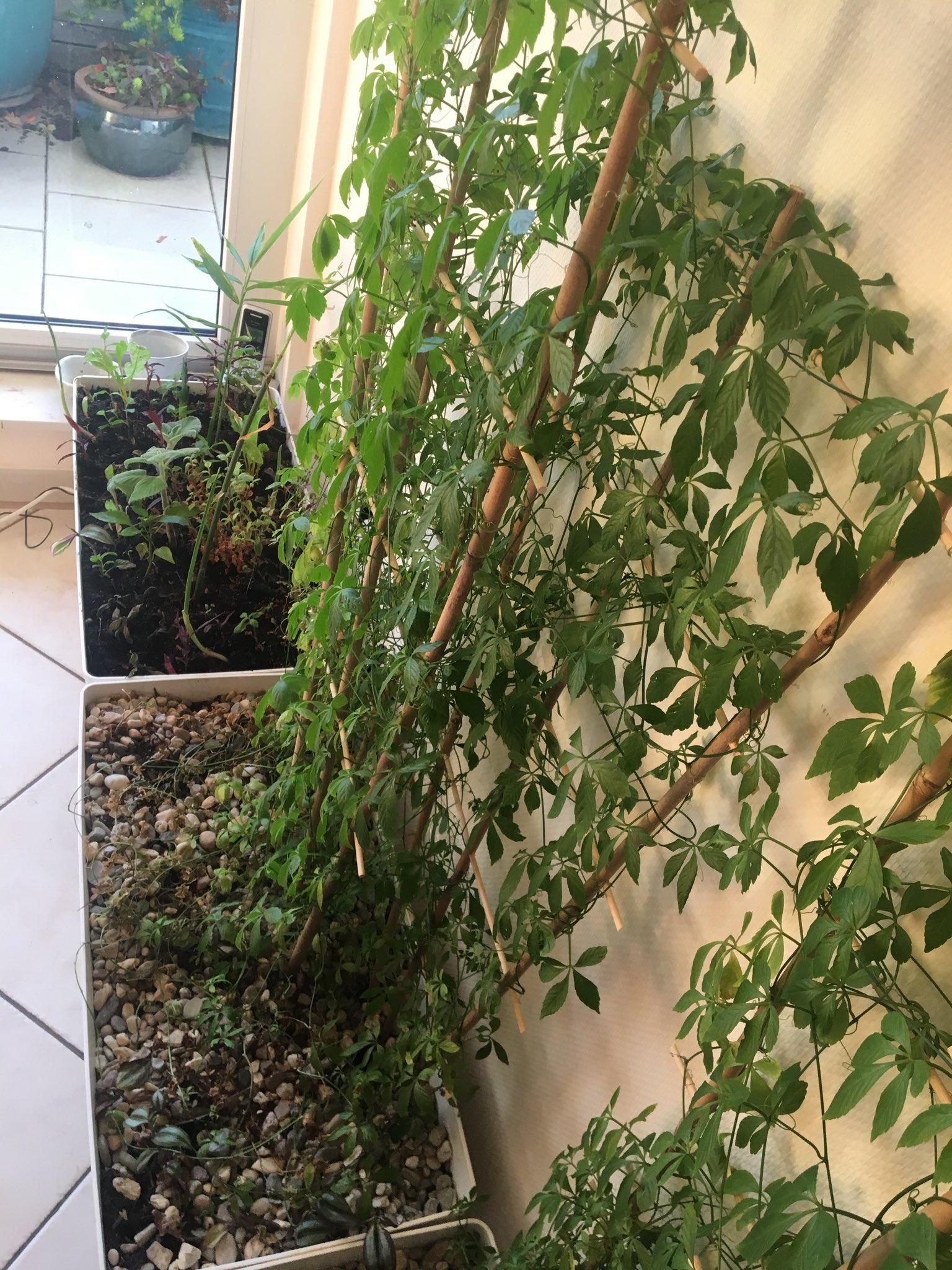 Unsterblichkeitskraut (Jiaogulan oder Gynostemma pentaphyllum) am Spalier, neben Pflanzkiste mit Zitronenkraut, Ingwer und Aztekischem Süßkraut