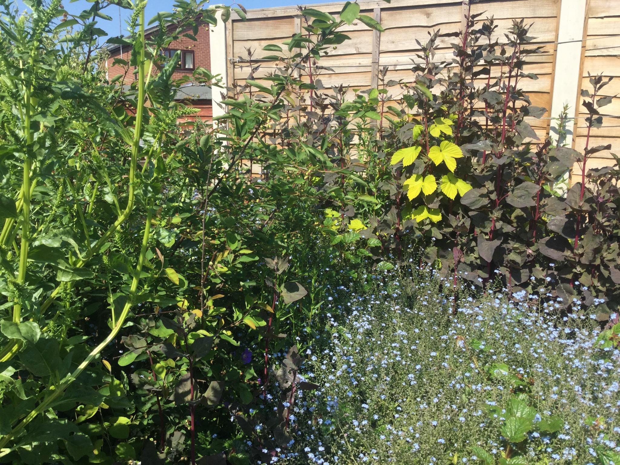"""Goldener Hopfen und rote Melde als Pflanzengemeinschaft (""""guild"""")"""