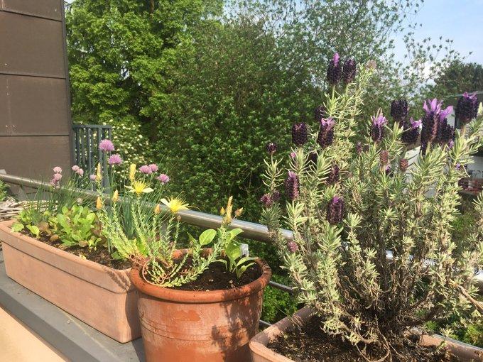 Johanniskraut, Lavendel und Schnittlauch auf einem Kölner Balkon