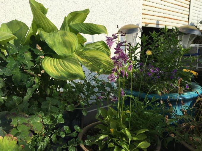 """Urban Gardening auf dem """"essbaren Balkon"""": Kräuter und Funkien mit essbaren Blättern und attraktiven Blüten für Insekten"""