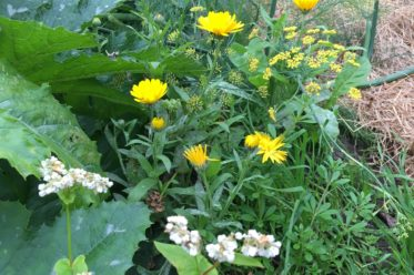 Mischkultur im Permakulturgarten - Ringelblumen, Buchweizen, Kürbis, Labkraut