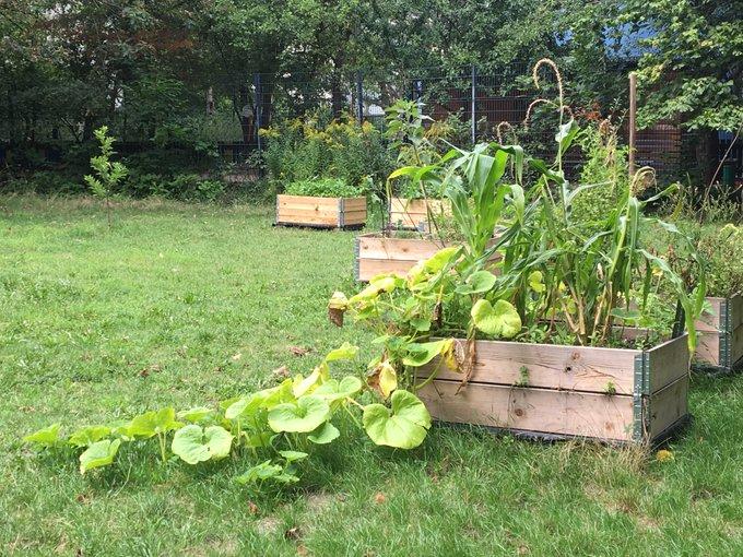 Milpa mit Mais, Bohnen und rankfreudigem Kürbis im Berliner Prinzessinnengarten