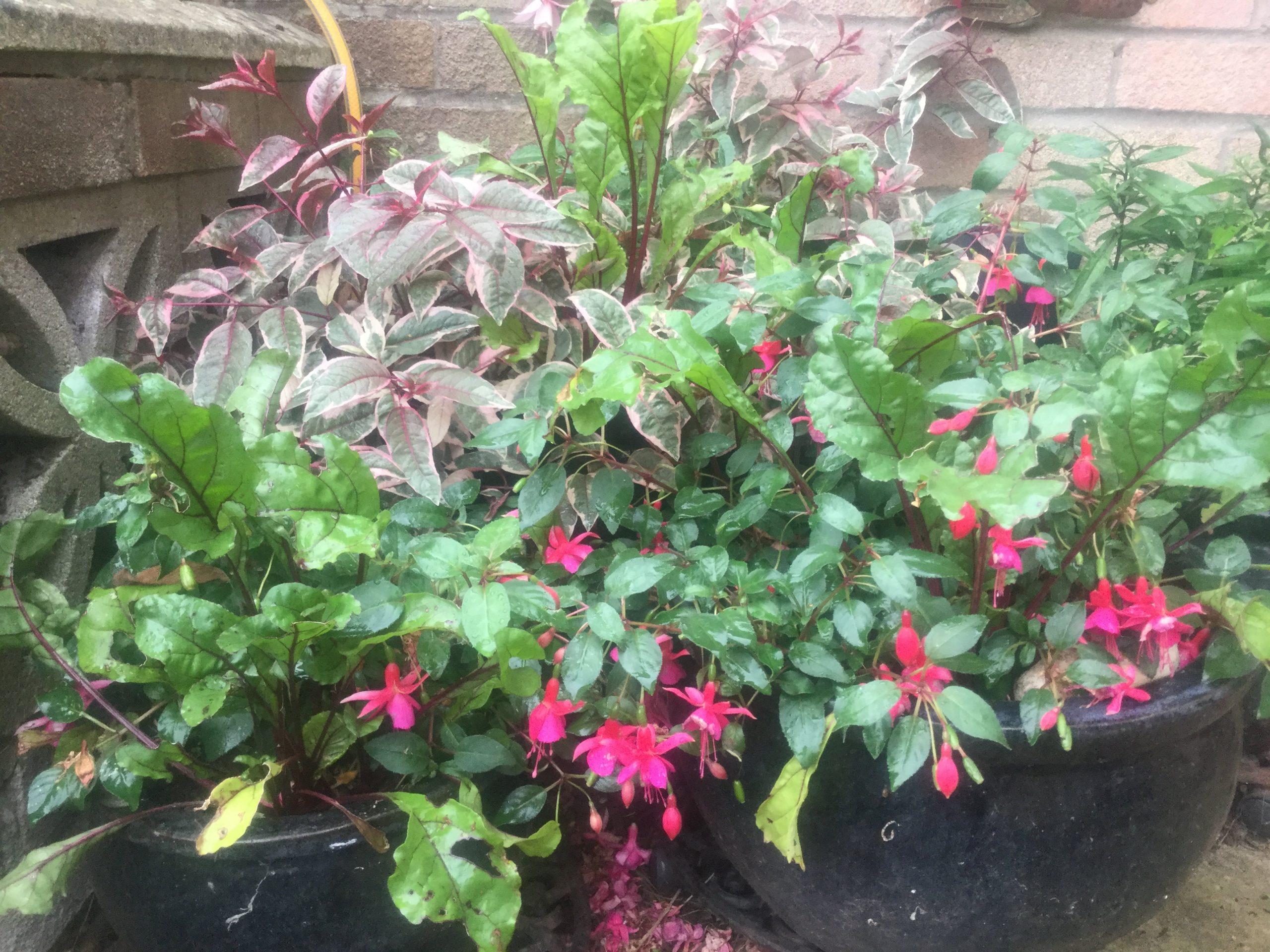 Mischkultur im Topf - rote Beete und Fuchsien mit essbaren Blüten und Beeren