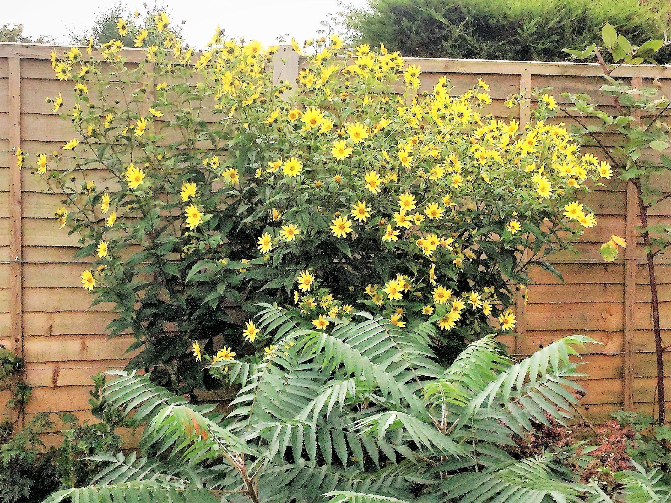 Auf Dauer angelegt - mehrjährige Sonnenblumen als ideale Permakulturpflanze für Menschen, Vögel und Insekten