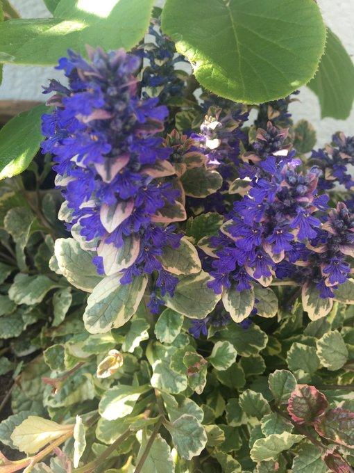 Kriechender Günsel (Ajuga reptans) bietet Bienen Pollen und Nektar und ist ein attraktiver Bodendecker