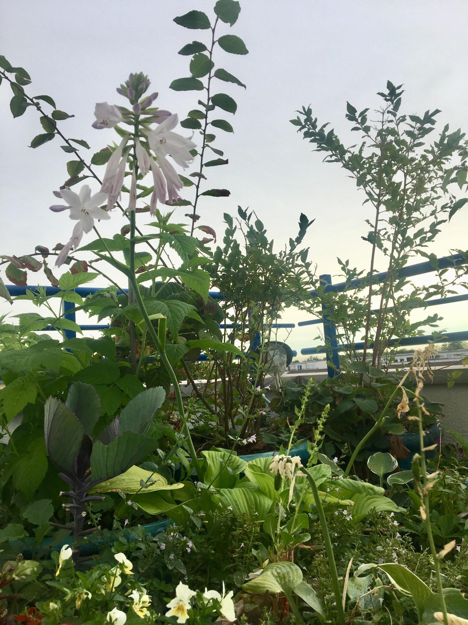Essbares für Mensch und Tier auf einem Kölner Balkon: Funkie (essbare Blätter und insektenfreundliche Blüten), Hornveilchen (essbare Blätter und Blüten) Heidelbeeren, Erdbeeren und Kohlrabi