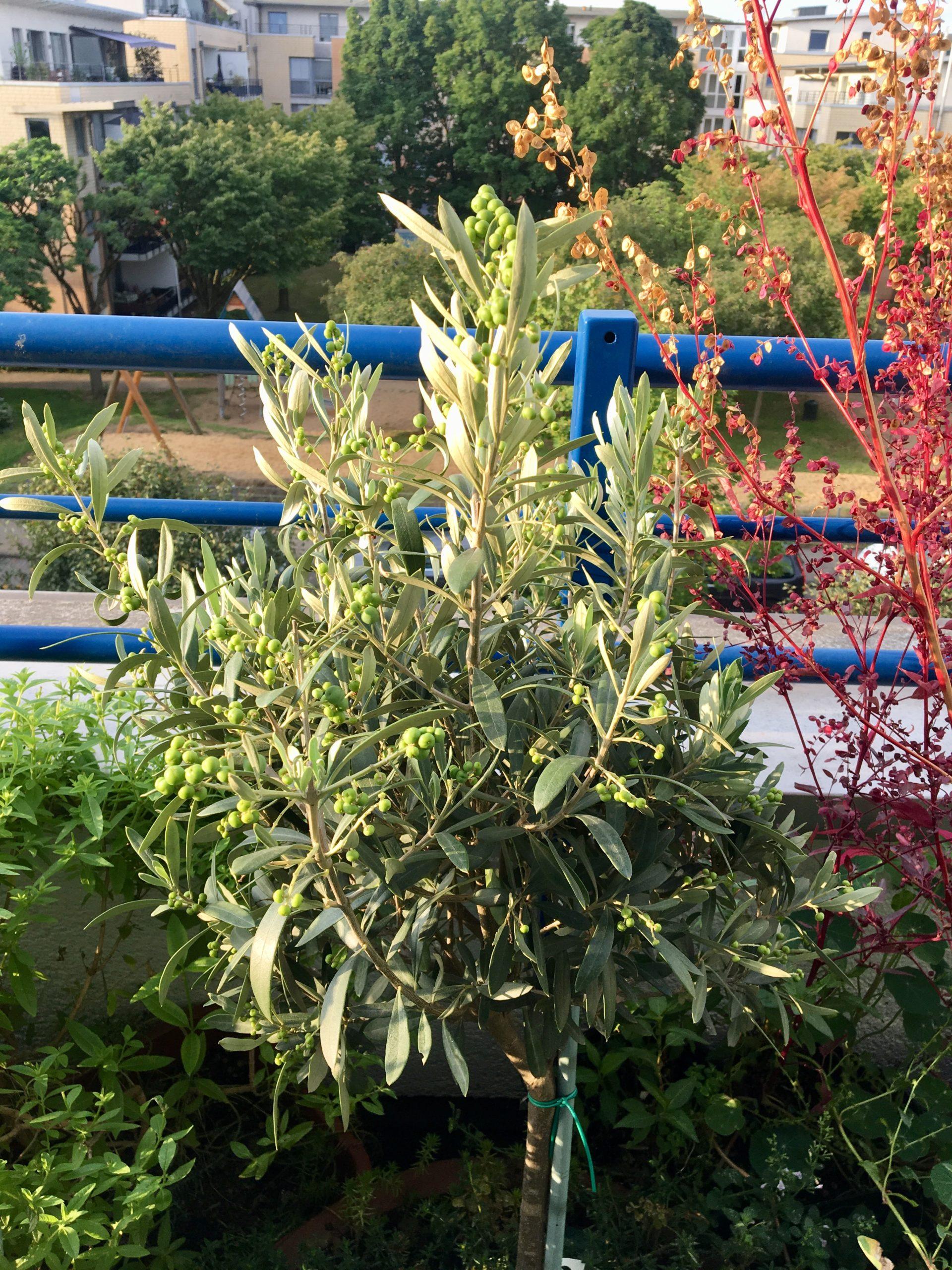 Auf einem Kölner Balkon: Olivenbäumchen (Blätter für Tee), rote Melde (bildet gerade Saatgut für die nächste Saison), Kräuter