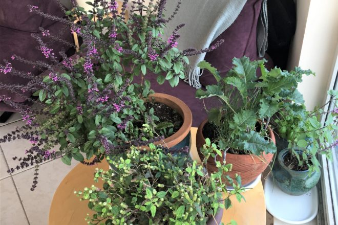 """Die """"essbare Wohnung"""" mit Pflanzen für Nahrung, Sauerstoff und Duft - Basilikum, Süßkraut, Kohl, Salbei"""