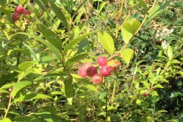 Pinkberry - Vaccinium corymbosum 'Pink Lemonade'