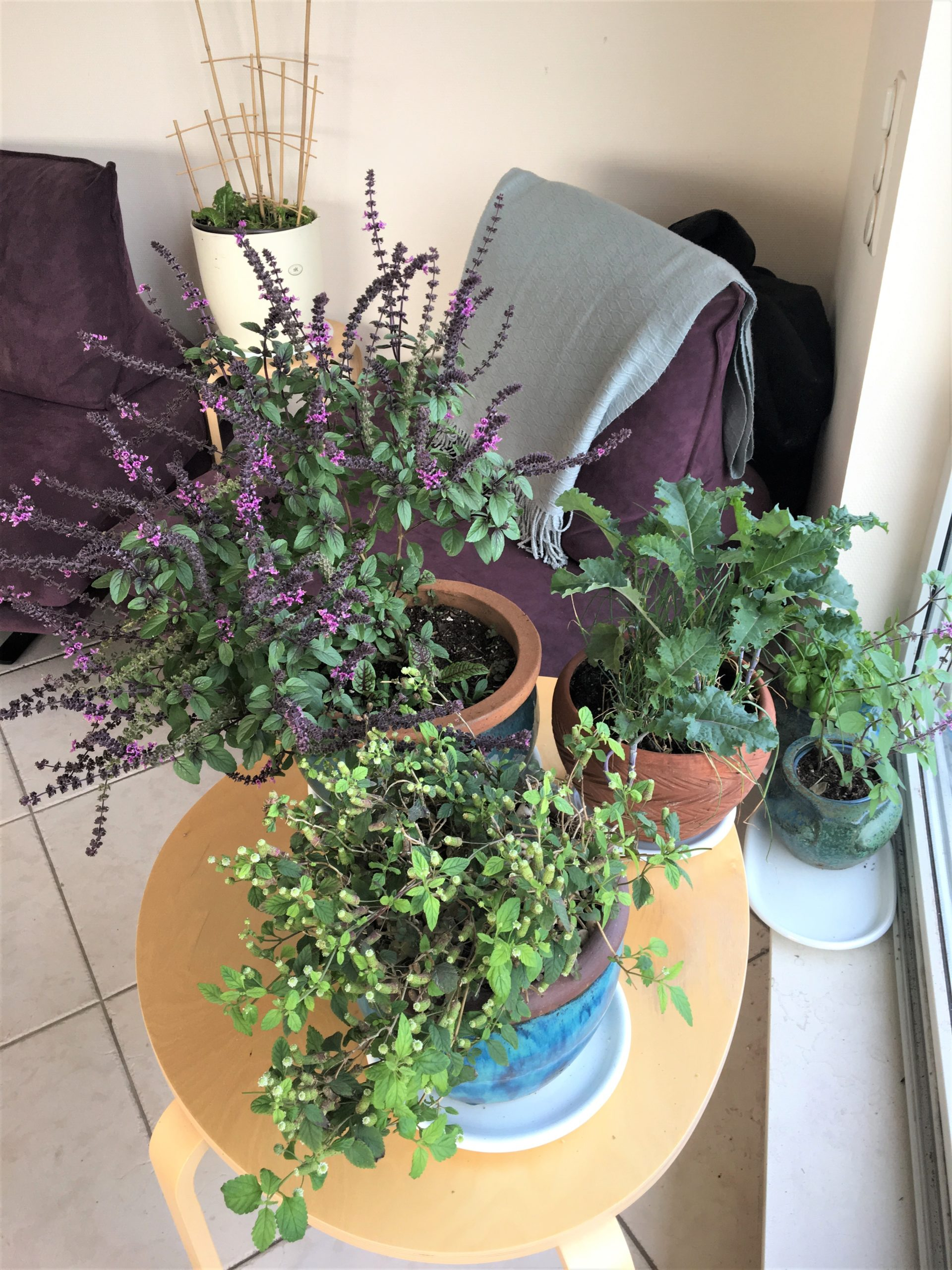 Wohnzimmergarten: Strauchbasilikum, Kohl, Schnittlauch, Unsterblichkeitskraut, Suesskraut und Mangold