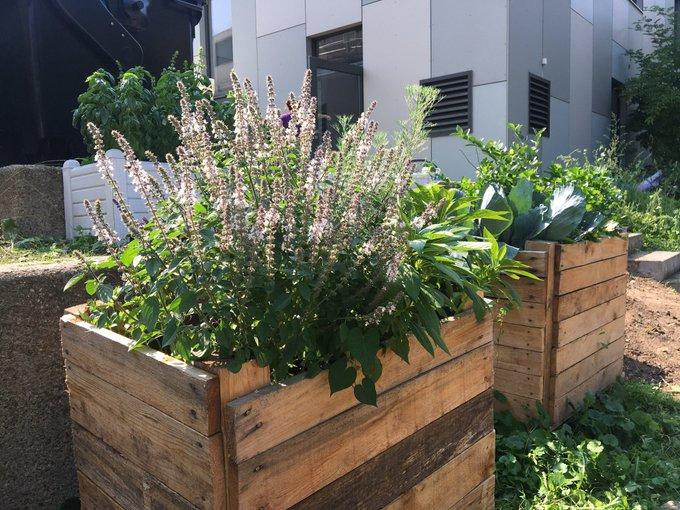 Strauchbasilikum im Gartenprojekt am Jugendzentrum in Köln Weiden
