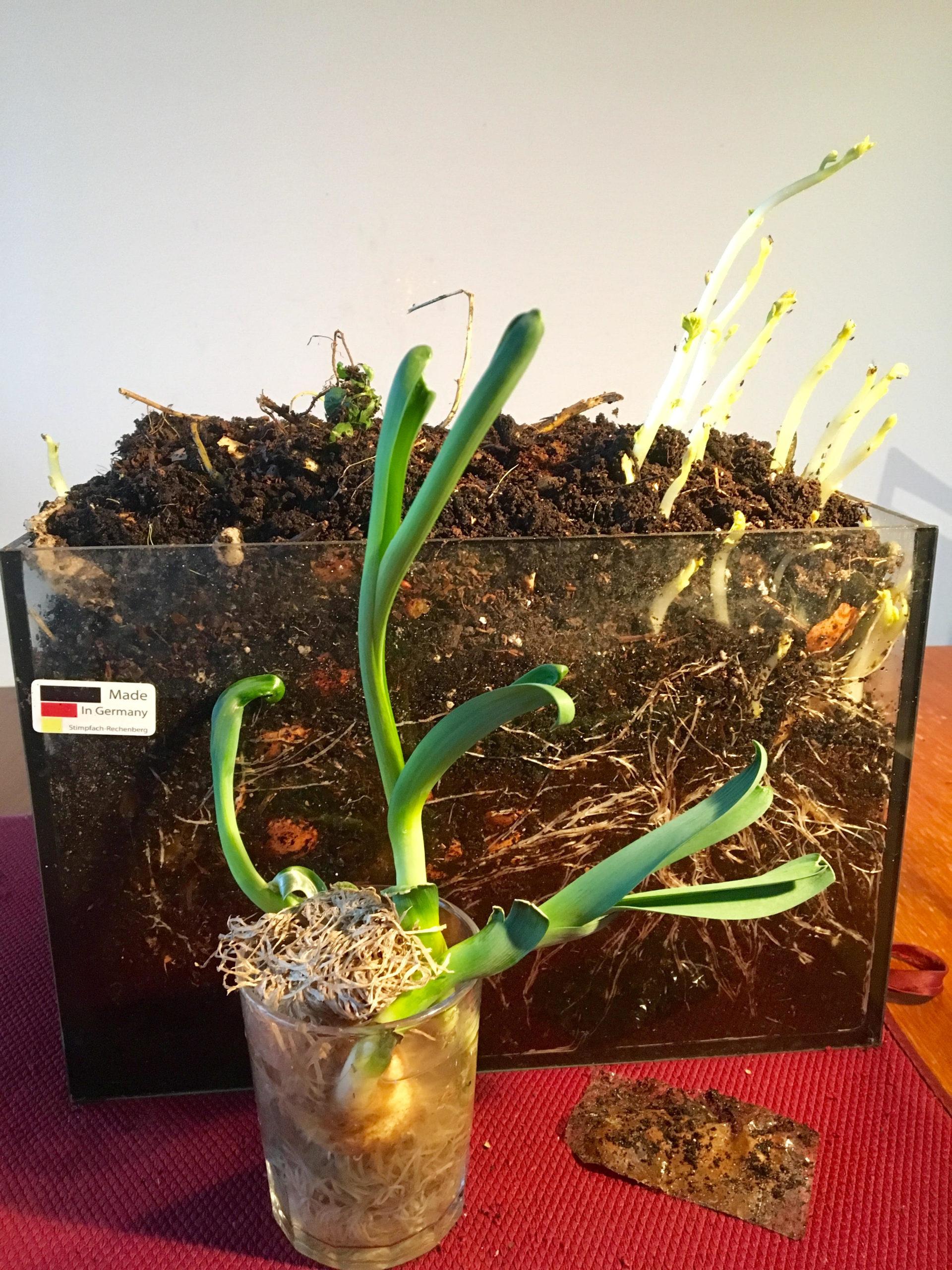 Wurmkompost-Experiment mit keimenden Kartoffeln, nachgezogenen Lauchwurzeln und kompostierbarer Verpackung