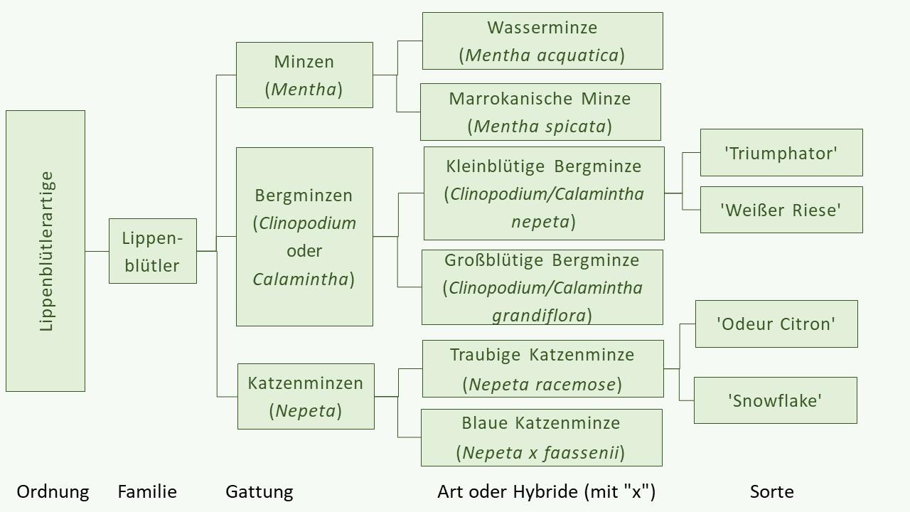 """Pflanzennamen mit """"Minze"""" und die botanische Klassifikation"""