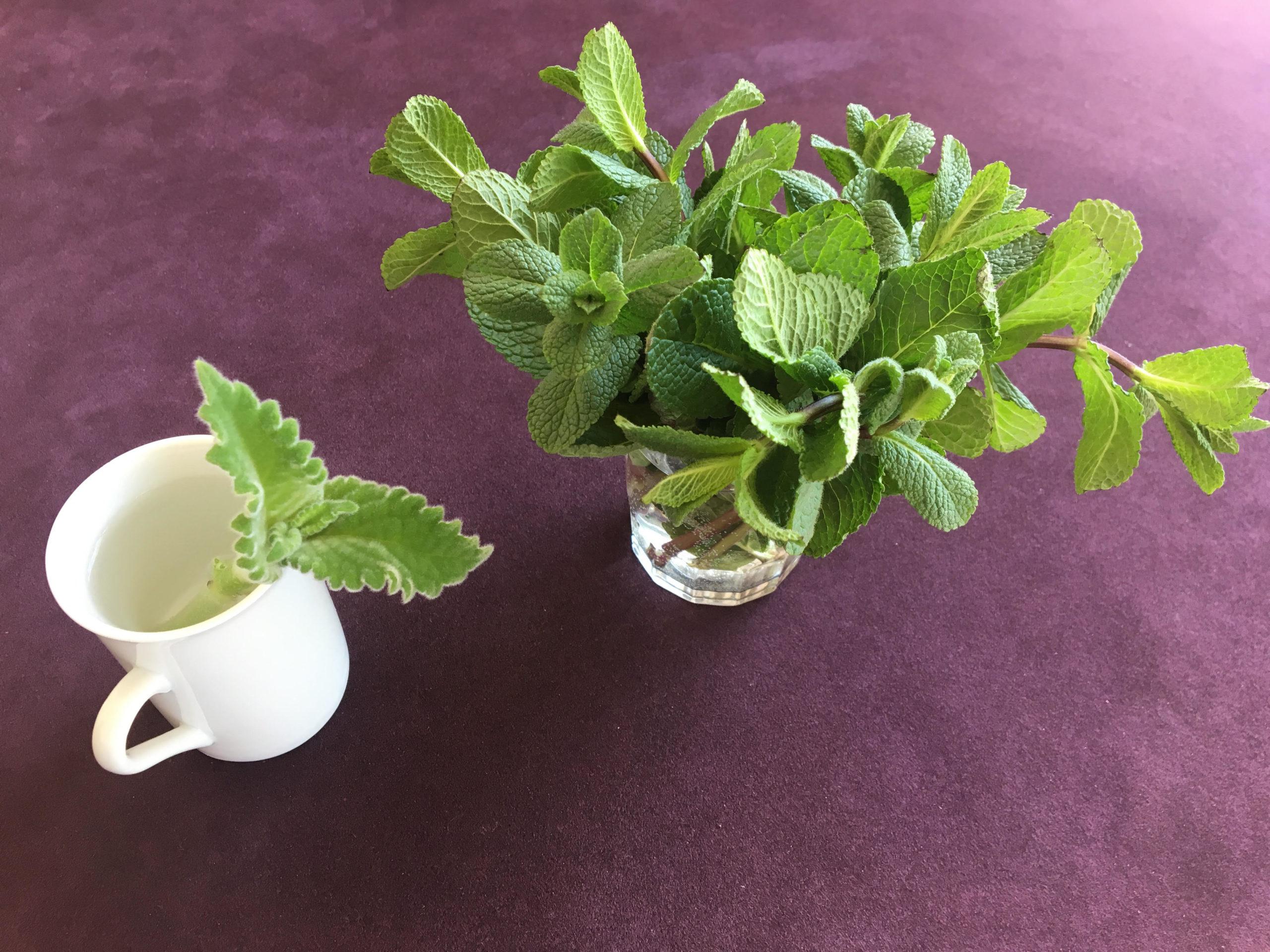 Kräuter in der Wohnung: Zitronenblattstecklingziehen und Minze im Wasserglas frischhalten