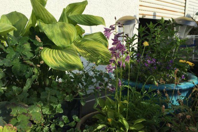Funkienvielfalt - mit essbaren Blättern und insektenfreundlichen Blüten
